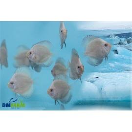 Discus Blue Artic 5-6 cm