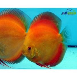 Discus Golden Red Sunrise 5-6 cm