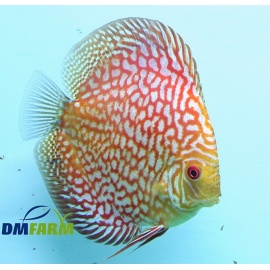 Discus Pigeon Checkerboard 5-6 cm