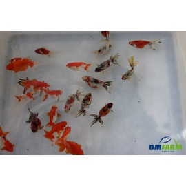Fantail assorti 5-6 cm