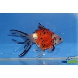 Fantail Calico 11-13 cm