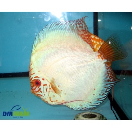Discus Butterfly 5-6 cm