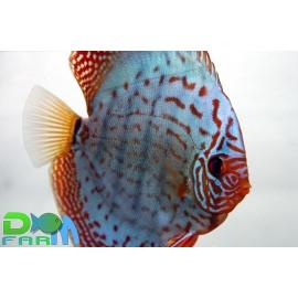 Discus Turchese 5-6 cm