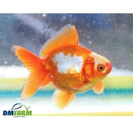 Fantail Bicolor grado A 10-12 cm