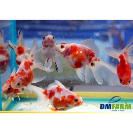Fantail Mix colors 10-11 cm