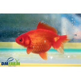 Fantail Red Gold 11-13 cm