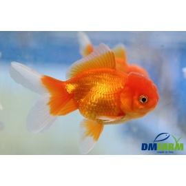 Oranda Red Gold 7-8 cm