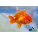 Oranda Red Gold 8-9 cm
