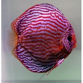 Red Turquoise 5 cm - Stendker
