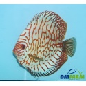 Discus Pigeon Red Map 5-6 cm