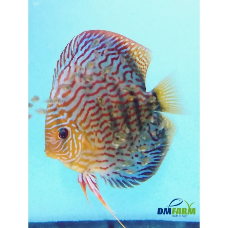 Discus Rosso Turchese (RT) 5-6 cm