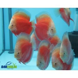 Discus Red Valentine  10-11 cm