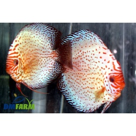 Discus Pigeon Spotted - White Leopard 5-6 cm