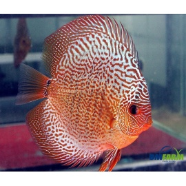 Discus Snakeskin Red 5-6 cm