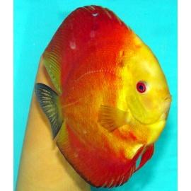 Discus Red Melon 5-6 cm