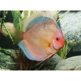 Discus Black Angel 8-9 cm