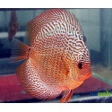 Discus Snakeskin Red 6-7 cm