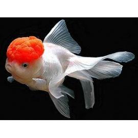 Oranda Cap Red 8-9 cm