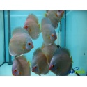 Discus Blu Diamond 5-6 cm