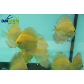 Discus Yellow Sun 6-7 cm