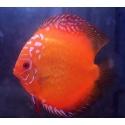 Discus Red Marlboro 5-6 cm