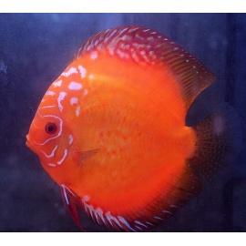 Discus Red Marlboro 6-7 cm